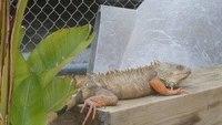 Fla. inmate charged for allegedly feeding animal farm iguanas to alligator