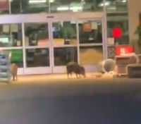 Video: Ariz. deputies interrupt javelina burglary outside supply store