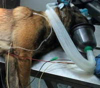 Miss. K-9 stabbed in abdomen by suspect during pursuit