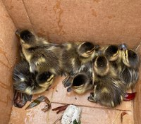 Mass. trooper rescues ducklings from storm drain