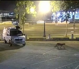 In this image from surveillance camera video provided by KGO-TV/ABC7, a young mountain lion wanders through the station's parking lot in San Francisco Tuesday, June 16, 2020. (KGO-TV/ABC7 via AP)