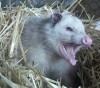 Why I didn't wait for animal control when faced with an unruly opossum