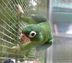 A parrot perches in its cage in the Rio Abajo Nature Preserve, Puerto Rico.