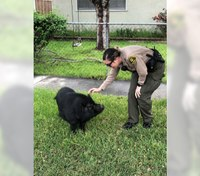 Calif. deputies return pig to owner after 'brief and unexpected' foot pursuit