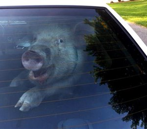 This May 28, 2015 photo shows a stray pig in then back of police vehicle in suburban Detroit.