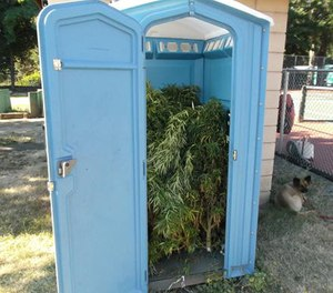 This photo provided by Rogue River Police Dept., shows marijuana plants inside a portable toilet. (AP Photo/Rogue River Police Dept.)
