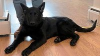 Veteran, puppy help police capture suspect accused of injuring cop