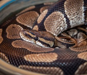 It turns out ball pythons, while not poisonous, have 80 or so short, but sharp inwardly facing teeth. (Photo/CompFight)