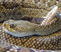 New drug could stall deadly symptoms of rattlesnake bite
