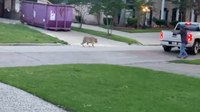 Video: Off-duty deputy faces down pet tiger; suspect arrested