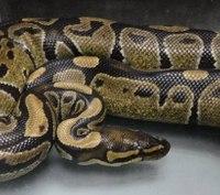 Hawaii medics capture 4-foot-long illegal ball python