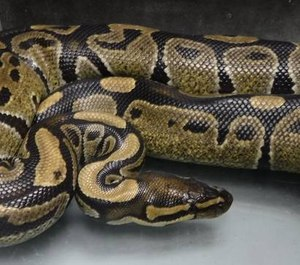 American Medical Response paramedics in Hilo, Hawaii captured this four-foot-long, three-pound ball python and transported it to the proper authorities. Ball pythons are non-native to Hawaii and illegal to own in the state. (Photo/Hawaii Department of Agriculture)