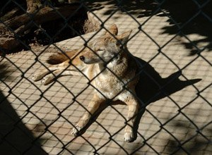 This undated photo provided by Austin Parks and Recreation shows a coyote at the Austin Nature and Science Center.