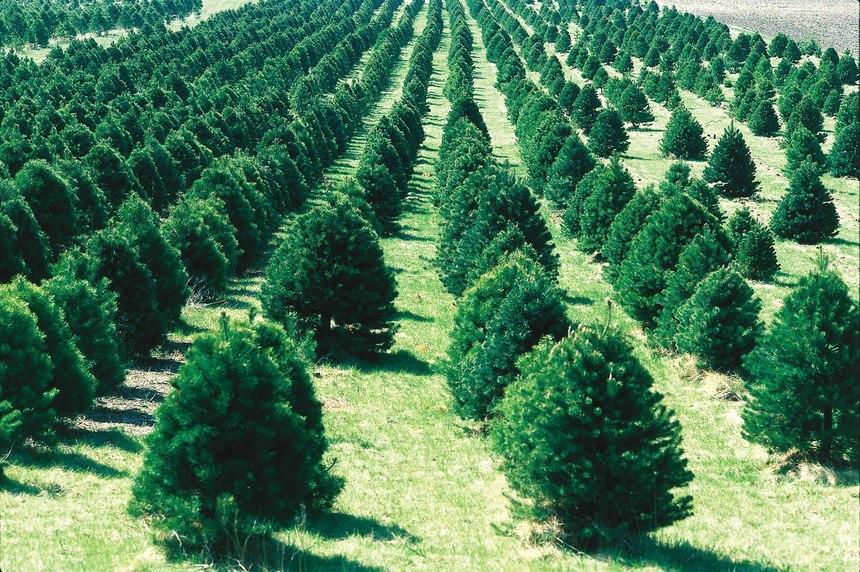 tree vandalism christmas tree theft
