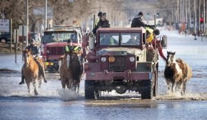 Horses that were being boarded in Inglewood, Neb., are moved through floodwaters to higher ground in Fremont Neb., Friday, March 15, 2019. The flooding followed days of snow and rain — record-setting, in some places — that swept through the West and Midwest.
