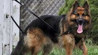 Gun Dogs: The rise of firearms-sniffing K-9s