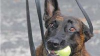 Tactical advantages of a K-9 verbal release