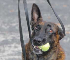 A verbal release is an obedience command and can be taught to a green dog by having it practice releasing a toy. (Police K-9 Magazine Image)
