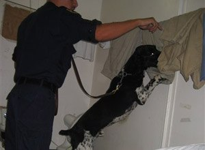 Tazz, a 5-year-old springer spaniel trained to search prison cells for contraband cell phones, prepares for a practice search on Wednesday, July 9, at the Maryland House of Corrections in Jessup, Md., with handler Sgt. Chris Caudell. Maryland and Virginia are the first states to train dogs specifically to sniff out cell phones.