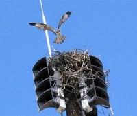 N.J. fire siren silenced by osprey nest