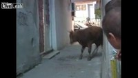 Bull attacks traffic cop