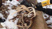Minn. cops use TASER to free deer tangled by antlers