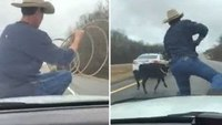 Cowboy lassos escaped calf from hood of Tenn. cop cruiser