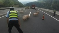 Police chase stampeding piglets on Chinese motorway