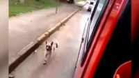 Dog chases owner in ambulance to hospital