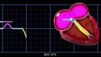 Animation: Conduction of electrical impulses through the heart