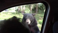 Yellowstone bear opens car door