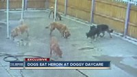 Dogs eat heroin at Denver doggy day care