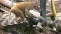 Monkey revives unconscious friend