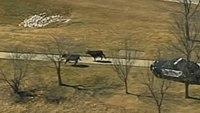 Cops pursue cattle after semi crashes