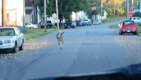 Deer frolics in front of ambulance