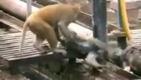 Monkey revives unconscious friend