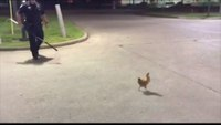 Cop pursues chicken outside of Church's Chicken