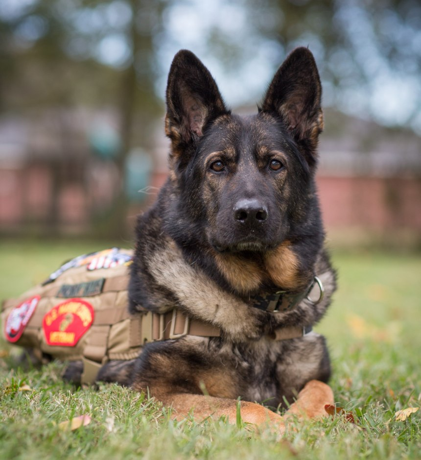 Military working dog Nora served the United States Marine Corps Military Police as a drug and patrol dog.