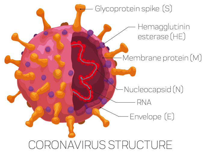 coronavirus structure diagram (Getty Images)