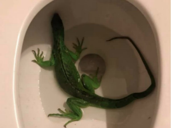 Can you imagine lifting the toilet seat and finding this? (Photo/Fort Lauderdale Fire Rescue Facebook)