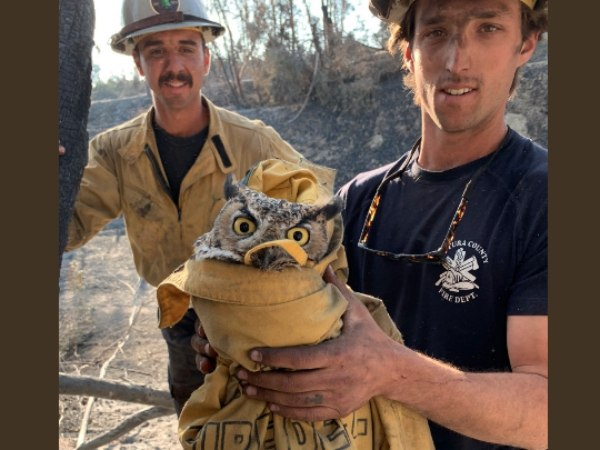 The owl was named Ram after the NFL team in nearby L.A. County. Ram is in the care of the Wildlife and Environmental Conservation. (Photo/Ventura County Fire via Twitter)