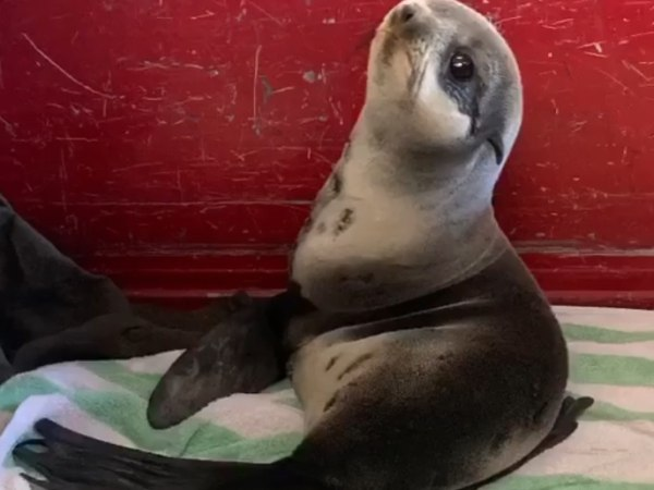 The Instagram video showed Santos hopping around the parking lot as firefighters looped a rope around his neck, followed by a clip of the baby seal nodding off in the fire station. (Photo/Redwood City Fire Department Facebook)