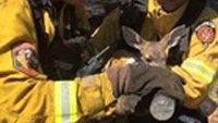 Firefighters rescue baby fawn from brush fire