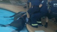 Horse rescued from suburban pool